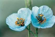10-AMA-138569 - The Himalayan Blue Poppy